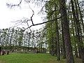Лиственничная аллея в селе Верхняя Талица 2.jpg