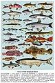 Риби Запорізької області. Табл.3.jpg