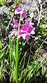 Рододендрон Кочі (лат. Rhododéndron myrtifólium).jpg