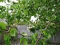 Старовинна груша на Карнаватці 06.jpg