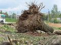 Уничтожение живого леса около детский учреждений под строительство транзитной автомагистрали.jpg