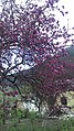 Цвет яблони в Тебердинском ущелье.jpg