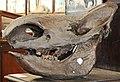 Череп ископаемого бизона. Schädel des fossilen Bisons 2H1A0287WI.jpg