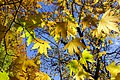 برگ زرد-پاییز-yellow leaves-falling leaves 01.jpg