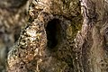 داخل درخت گردو - juglans 07.jpg
