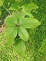 คอร์เดีย (Geranium tree ) Cordia debestina L. 04.jpg