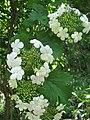 カンボク Viburnum opulus var. calvescens.JPG