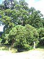 一本杉(高津川水源).jpg