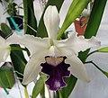 卡特蘭屬 Cattleya (Laelia) purpurata v coerulea -香港青松觀蘭花展 Tuen Mun, Hong Kong- (17855743305).jpg