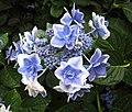 山繡球-金平糖 Hydrangea macrophylla v normalis 'こんぺいとう' -日本廣島縮景園 Hiroshima Shukkeien Garden, Japan- (35660743361).jpg