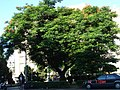 市立醫院前的鳳凰木 - panoramio.jpg