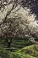 最光院 つくばの里 梅まつり (愛知県豊田市日下部町) - panoramio - gundam2345.jpg