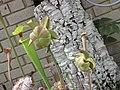 瓶子草屬 Sarracenia alata x leucophylla -倫敦植物園 Kew Gardens, London- (9222671106).jpg