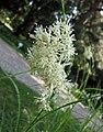 白穗地楊梅 Luzula nivea -維也納大學植物園 Vienna University Botanical Garden- (9237375645).jpg