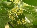 秋胡頹子 Elaeagnus umbellata -瀋陽植物園 Shenyang Botanical Garden, China- (9213320467).jpg