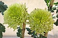 綠菊 Chrysanthemum morifolium 'Green' -香港圓玄學院 Hong Kong Yuen Yuen Institute- (12064622935).jpg