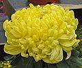 菊花-唐山黃 Chrysanthemum morifolium 'Tangshan Yellow' -中山小欖菊花會 Xiaolan Chrysanthemum Show, China- (11961610704).jpg