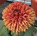 菊花-墨針 Chrysanthemum morifolium 'Dark Needle' -中山小欖菊花會 Xiaolan Chrysanthemum Show, China- (11961464863).jpg
