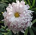 菊花-湖上春色 Chrysanthemum morifolium 'Spring Colours on Lake' -香港圓玄學院 Hong Kong Yuen Yuen Institute- (11994933594).jpg