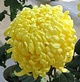 菊花-金馬玉堂 Chrysanthemum morifolium 'Gold Horse Jade Hall' -香港圓玄學院 Hong Kong Yuen Yuen Institute- (12099375694).jpg