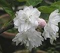 香水櫻花 Cerasus hybrid -台北陽明山竹子湖 Yangmingshan, Taiwan- (9237497039).jpg