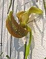 鵝頭豆蘭 Bulbophyllum grandiflorum -香港沙田洋蘭展 Shatin Orchid Show, Hong Kong- (9222679378).jpg