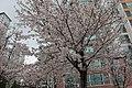 신안아파트벚꽃.jpg