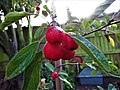 -2019-11-05 Fruit on a Crab-apple tree, Trimingham.JPG