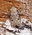 -2087- Turnip Moth (Agrotis segetum) (43411584015).jpg