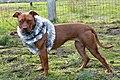 008 American Pit Bull Terrier.jpg