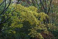 01- Autumn Leaves begin to fall Blue Mountains (17307793502).jpg