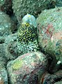 0106RajaAmpatS - 75 cute moray (5555632779).jpg