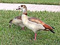 021.5 - EGYPTIAN GOOSE (1-31-2016) miami-dade co, fl -05 (24572109339).jpg