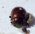 04 04 09 (59) Coleoptera (3420309500).jpg