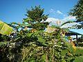 07875jfSenna alata flowers Cassia alata L. ringworm bush Philippinesfvf 02.jpg