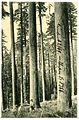 08366-Oregon-1906-Glimpse of an Oregon Forest-Brück & Sohn Kunstverlag.jpg