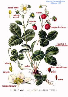 <i>Fragaria</i> genus of plants