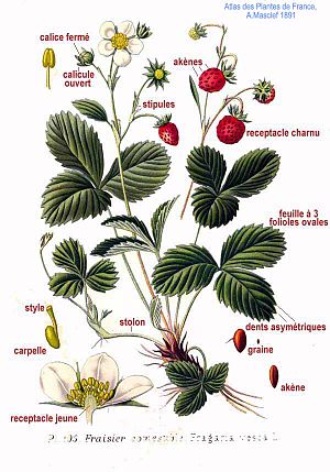 Fragaria - Fragaria vesca illustration from Atlas des plantes de France 1891, by A. Masclef
