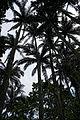 110321 Native forest of Satake palm trees Yonehara Ishigaki Island Japan04s3.jpg