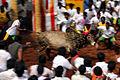 1 Jallikattu Non-violent bull fighting taming folk sport Tamil Nadu India.jpg