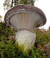 2007-10-13 Gomphidius glutinosus 131007 crop.jpg