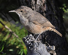 2008-canyon-wren.jpg