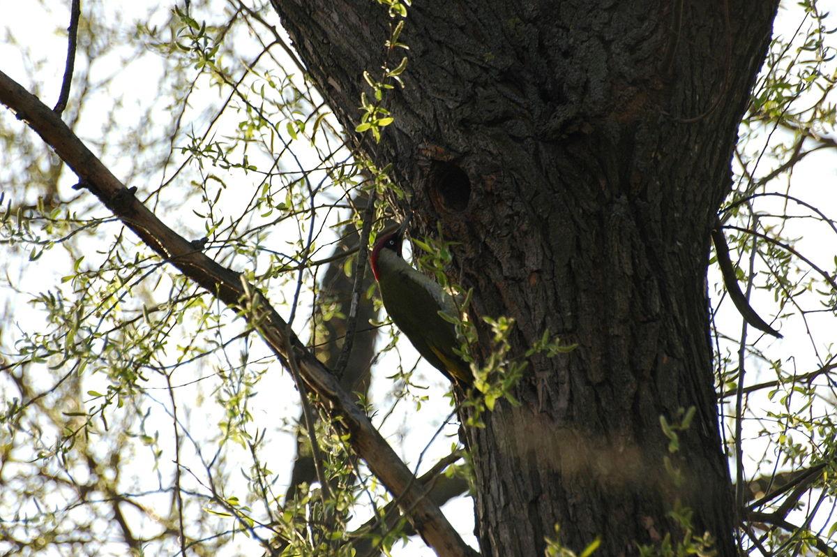 Pic vert wiktionnaire for Jardin wiktionnaire