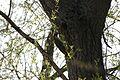2010-04-07 (19) Grünspecht, (Eurasian) green woodpecker, Picus viridis.JPG