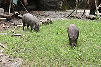 2010 07 19400 7206 Wenshan District, Taipei, Zoo, Sus scrofa taivanus, Formosan wild boar, Taiwan.JPG