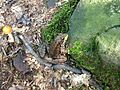 2013-08-20 16 57 40 Lithobates clamitans near the spring at around 1120 feet while descending the Mount Minsi Fire Road in Delaware Water Gap National Recreation Area.jpg