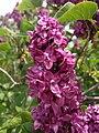 2014-05-18 11 30 18 Lilac in Elko, Nevada.JPG