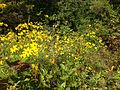 2014-08-27 16 05 14 Yellow flowers along the Meadow-Pond Trail in the Stony Brook-Millstone Watershed Association, New Jersey.JPG