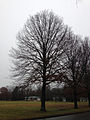 2014-12-24 14 52 44 Pin Oak along Sabrina Drive in Ewing, New Jersey.JPG