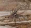 2014.09.20.-09-Kaefertaler Wald-Mannheim--Wolfspinne-Xerolycosa nemoralis-Weibchen.jpg